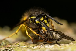 Common wasp (Vespula vulgaris) eating prey.  This insect has caught a fly and is feeding whilst on bark of a tree