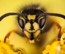 Common Wasp, Wasp, Vespula vulgaris