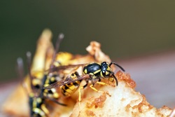 Common wasps (Vespula vulgaris). Common wasp eating ripe pear fruit.