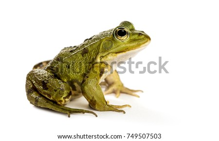 Common Water Frog in front of a white background - Shutterstock ID 749507503