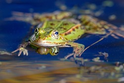 Common water frog (Rana kl. esculenta) swimming in a pond, wildlife, Germany
