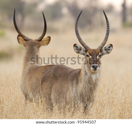 Common Waterbuck bull (Kobus ellipsiprymnus) in South Africa