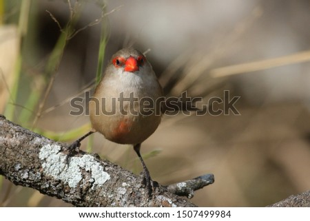 Common waxbill bird with its red beak perched on a branch