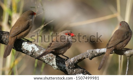 Common waxbill birds with friends perched on a branch