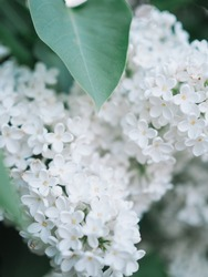 Common white lilac tree or bushes flowers