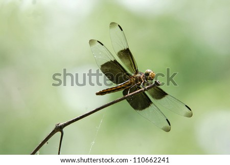 Common Widow Skimmer Dragonfly - Libellula luctuosa