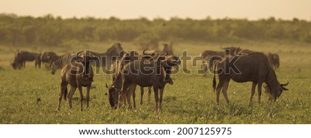 Common Wildebeest or Brindled Gnu (Connochaetes taurinus) herd grazing at sunset in river bed Stock photo ©