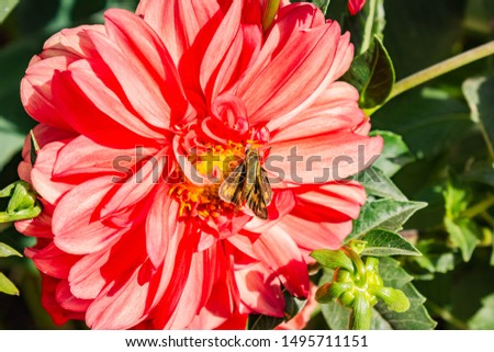 Common winder (Quinta cannae) on red dahlia, day butterfly #1495711151