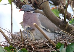 Common wood pidgeon (Columba palumbus) and chick resting on the nest. Mother bird protecting its offspring. Beautiful wild dove breeding. Agressive wood pigeon deffending the nest from an attack. Lugo