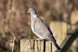 Common Wood Pigeon, Wood Pigeon, Birds
