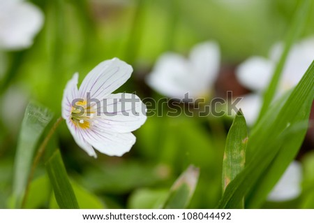 Common wood sorrel is a plant similar to clover. It has a beautiful, delicate little flowers.