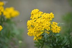 Common yarrow or milfoil (Achillea millefolium) flowers. Yarrow, herbal plant in summer time