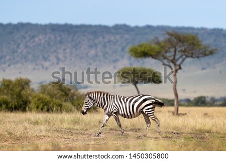 Common zebra, Equus Quagga, walking across the grasslands of the Masai Mara, Kenya. Side view with acacia trees and the Oloololo escarpment beyond.. #1450305800