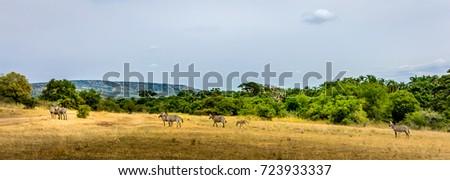 Common zebras (Equus Quagga)  in Akagera National Park, green forest, beautiful landscape, Rwanda, Africa, wide format