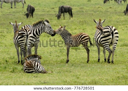 Common zebras (with foals) and wildebeests, Ngorongoro Crater, Tanzania