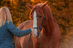 Communication between horse and a human. Blonde woman training chestunt horse in hand.