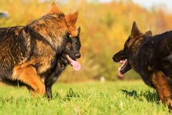communication between three German Shepherd dogs on the meadow