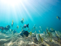 Community of small square shaped fishes with sunlight in the ocean's clean water.