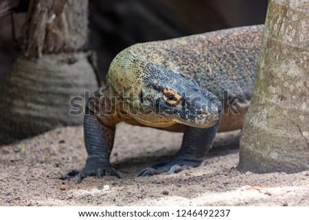 Komodo / Comodo / Giant Lizard / comodo dragon Images and