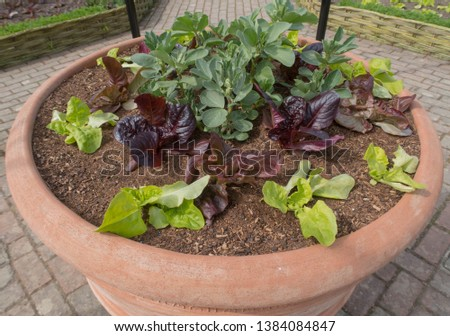 Companion Planting of Home Grown Organic Broad Beans (Vicia faba) and Lettuces (Lactuca sativa)  in a Large Terracotta Pot in a Country Cottage Garden in Rural Devon, England, UK