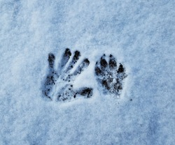 Comparison of adult hand print next to paw print of large dog in the fresh snow.
