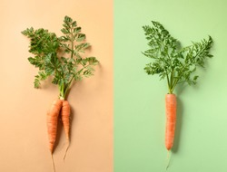 Comparison of two freshly home-grown carrots, regular and unusual ugly shape. Concept organic vegetables.