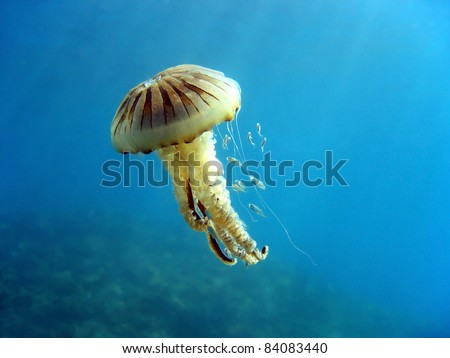 Compass jellyfish with small fish, Mediterranean sea, Vermilion coast, Roussillon, France