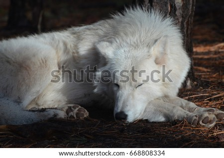 Compelling White Wolf Resting In The Wild #668808334