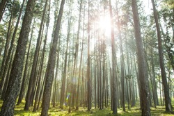 Competition of pine trees To sunlight necessary to sustain life.