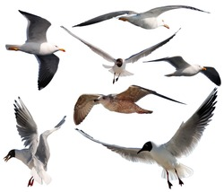 Compilation of seven isolated gulls on a white background