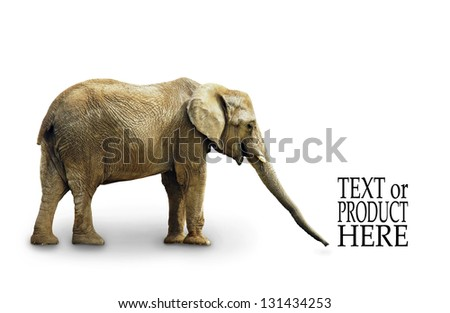Complete body of African elephant isolated on white background