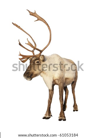 Complete caribou reindeer looking at camera isolated on white background ready to be put on any Christmas card or design. Great details. Сток-фото ©