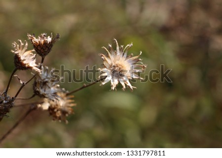 Completely open dried Thistle flowering plant with shriveled and fallen petals surrounded with other plants and leaves in background on warm summer day