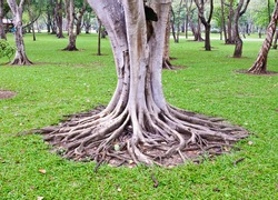 Complex root of  banyan tree in the  park.