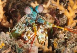 Complex Stare of a Peacock Mantis Shrimp