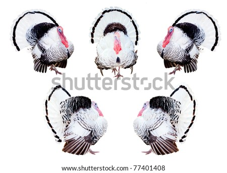 Composite of turkeys in different poses isolated on white.