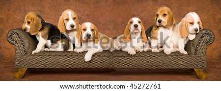 Composite panorama collage of 6 Beagle puppies on miniature chaise sofa
