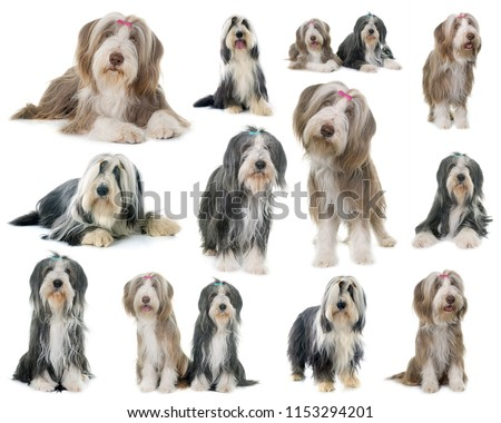 composite picture of bearded collie in front of white background