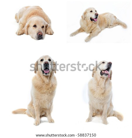 composite picture with golden retriever in a white background