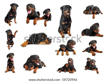 composite picture with puppy and adult purebred rottweiler in a white background - stock photo