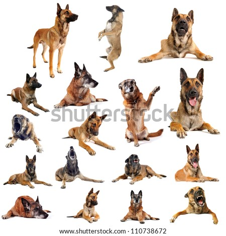 composite picture with purebred belgian sheepdog malinois on a white background
