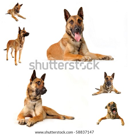 composite picture with purebred belgian sheepgog malinois on a white background - stock photo