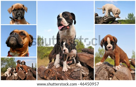 composite picture with purebred dogs and puppies boxer outdoors