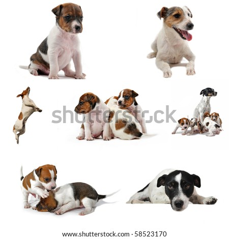 composite picture with purebred jack russel terrier on a white background
