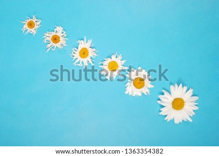 Composition chamomiles flowers on color paper background. Copy space template for postcard, lettering, text or your design. Flat lay Top view Concept Hello summer.  #1363354382