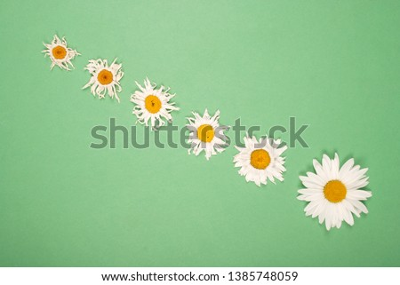 Composition chamomiles flowers on color paper background. Copy space template for postcard, lettering, text or your design. Flat lay Top view Concept Hello summer.  #1385748059