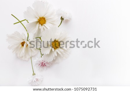 Composition, frame white cosmea, cosmos flowers on white background. Backdrop with copy space, flat lay, top view. Mother's, Birthday, Valentines, Women's, Wedding Day concept