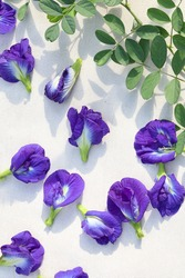 composition fresh butterfly pea flower or blue pea, bluebellvine , cordofan pea, clitoria ternatea with green leaf  isolated on white background. Flat lay, top view, copy space
