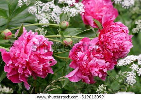 Composition from the blossoming pink crimson peonies with white composition from the blossoming pink crimson peonies with white flowers of a goutweed horizontal flower mightylinksfo