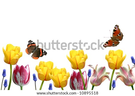 Composition from tulips and butterflies on a white background.